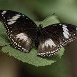Great Eggfly Butterfly-7404
