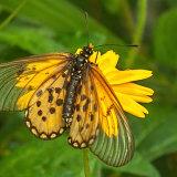 Butterfly-Garden Acraea-6577