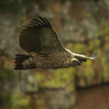 Cape Vulture 4  Oribi Gorge-7193