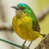 Collared Sunbird-