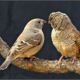 Female Redheaded Finches-