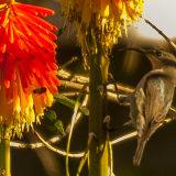 Female amethyst sunbird-6633
