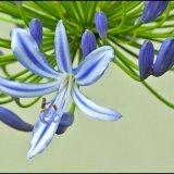 IMG 1576-Agapanthus bloom