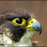 IMG 2763-Falcon portrait