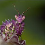 IMG 3144-Flower Mantis