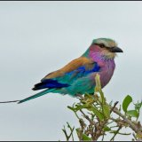 IMG 4322-Lilac breasted roller 3