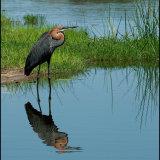 IMG 4599-Goliath Heron