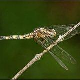 IMG 4673-Dragonfly 1