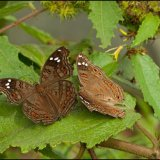 IMG 4725-Brown Pansy butterflies