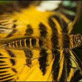 Brown_Clipper_Butterfly_macro