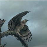 Immature Crowned Eagle