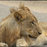 Lioness Kruger Park-4647