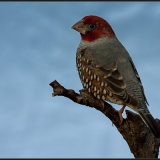 Male red headed finch-