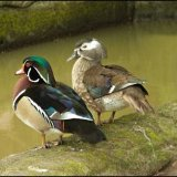 Wood Ducks-Male Female