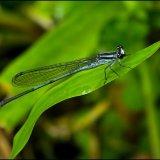 Damsel Fly - blue