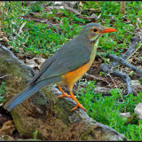Olive thrush-