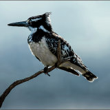 Pied Kingfisher-