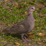 Red eyed Dove-