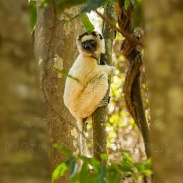 Deep In The Forest - Verreaux's Sifaka (Propithecus verreauxi)