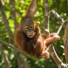 Baby Orangutan - African penguin (Spheniscus demersus)