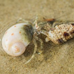 Hermit Crab Fight
