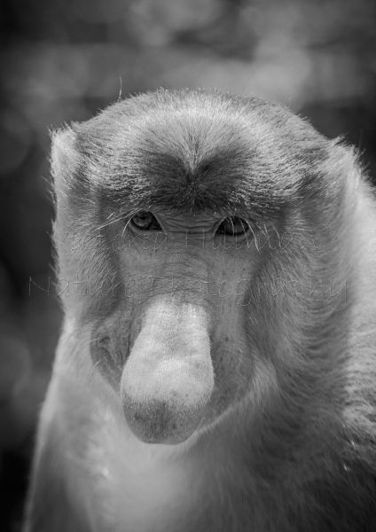 Pensive - Male Proboscis Monkey (Nasalis larvatus) IUCN Red List Status - Endangered