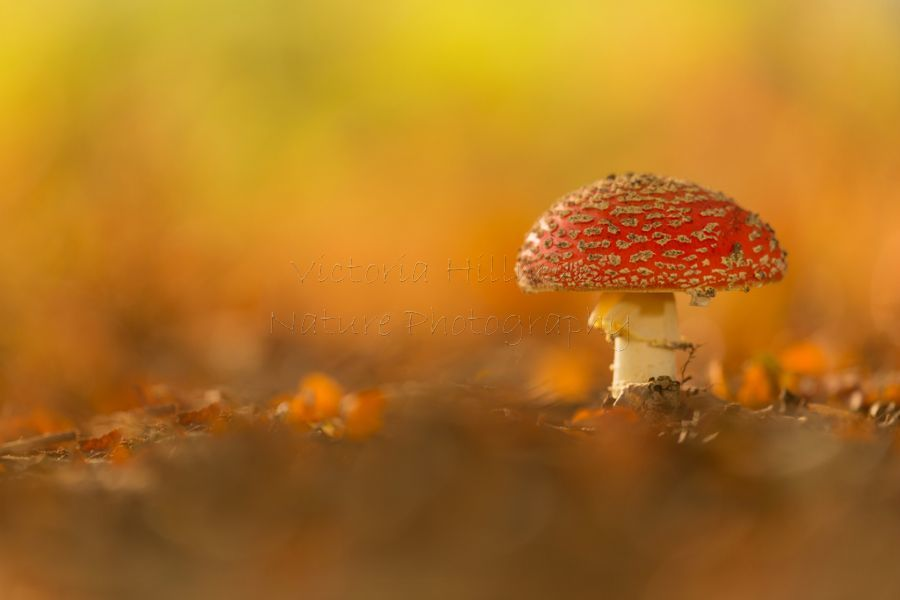 The Autumn Fungi