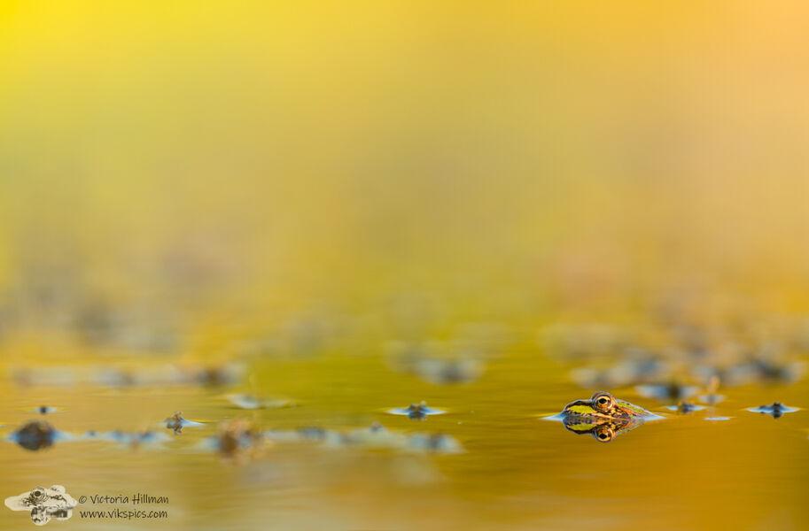 Autumn Frog