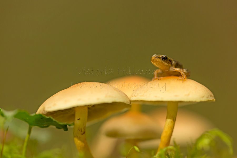 Autumn Froglet