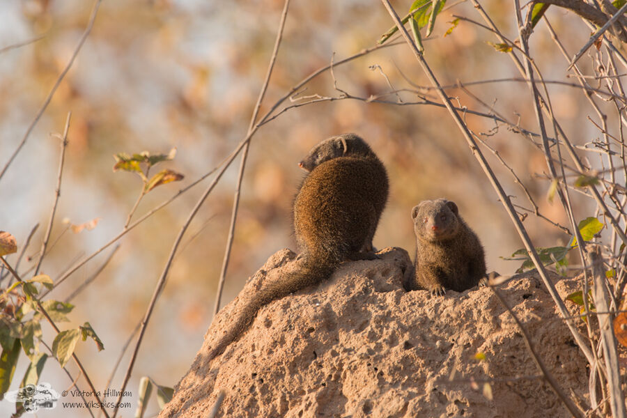 Autumn mongeese