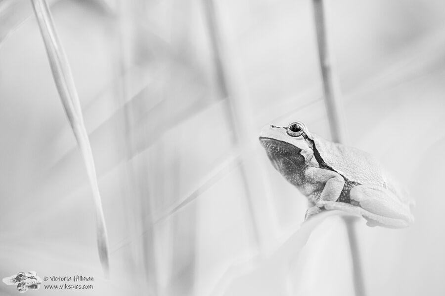 B&W European Tree Frog