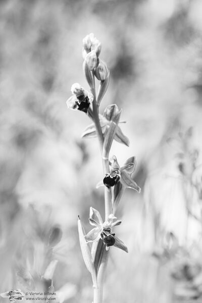 B&W bee orchid