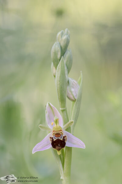 Bee orchid flower