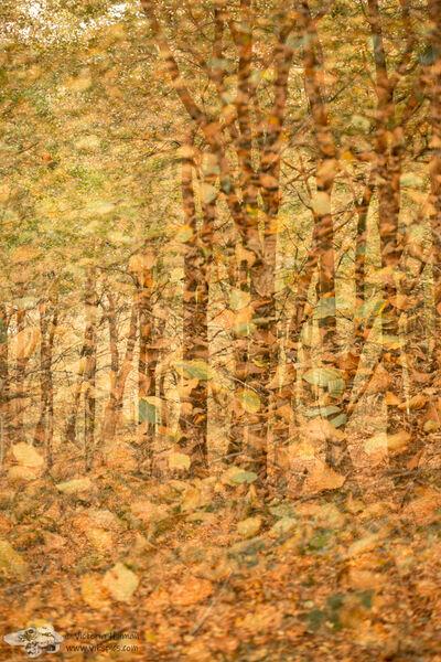 Beech Woodland 2