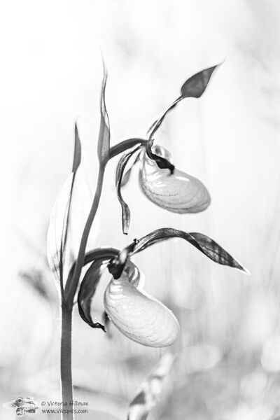 Black and White Slipper Orchid