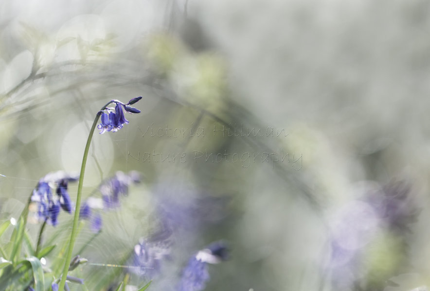 Bluebells and Brambles