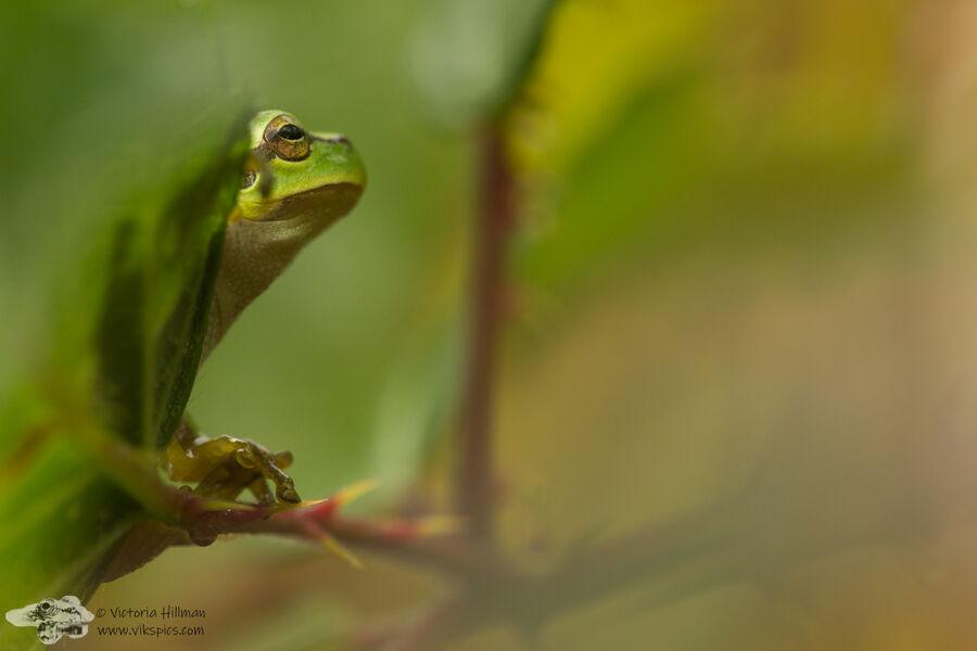 Bramble Frog