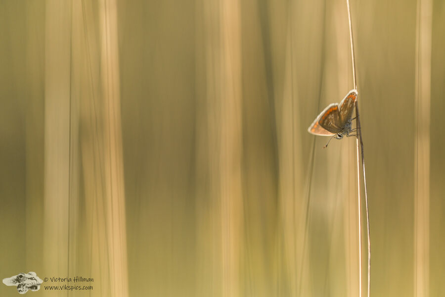 Butterfly In The Grasslands
