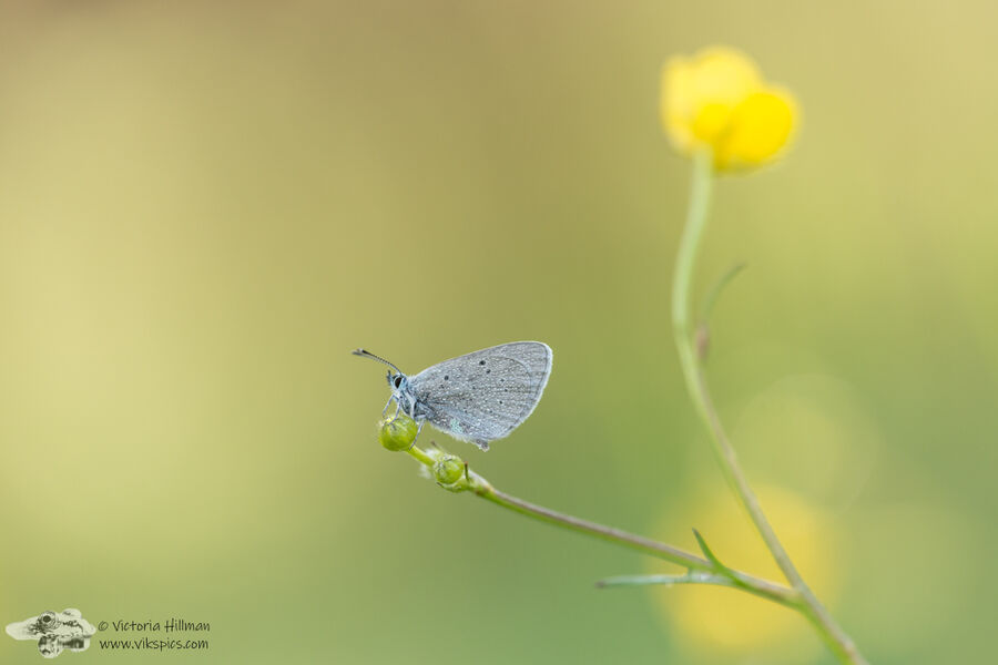 Butterfly and The Buttercup