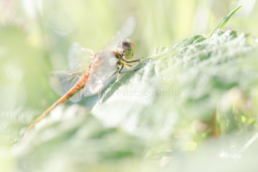 Dreamy Dragonfly