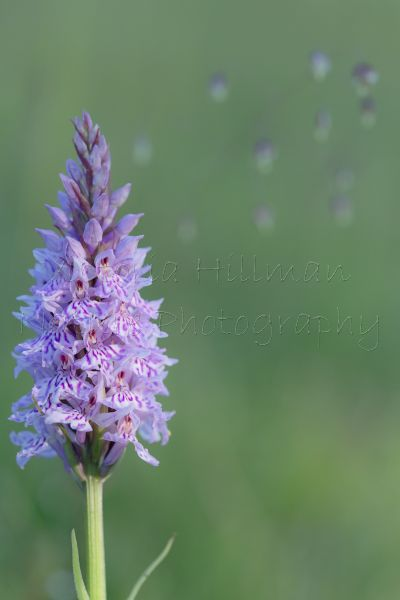 Early Morning Delight - Common Spotted Orchid (Dactylorhiza fuchsii) Wiltshire, UK