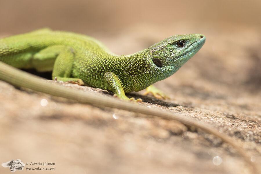 Easter green lizard