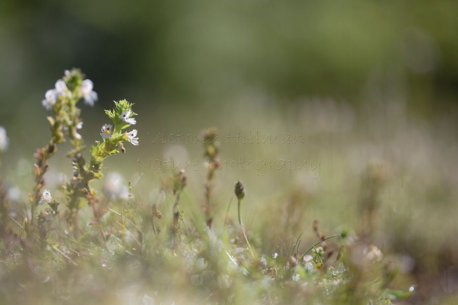 Carpet of Eyebright