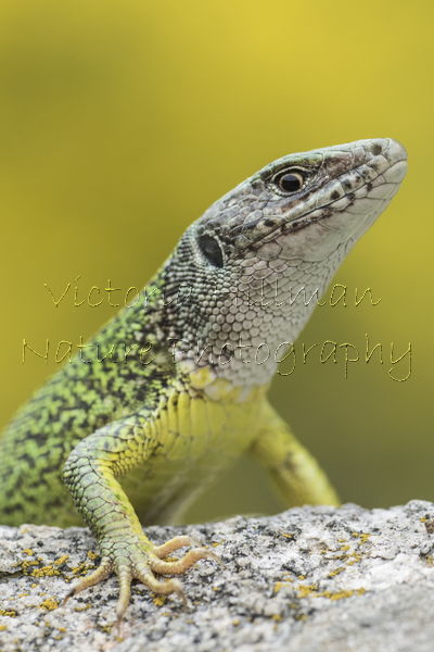 Female Eastern Green Lizard