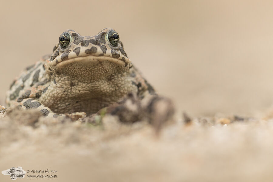 Female Green Toad