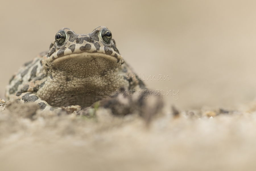 Female Green Toad (Bufo viridis)