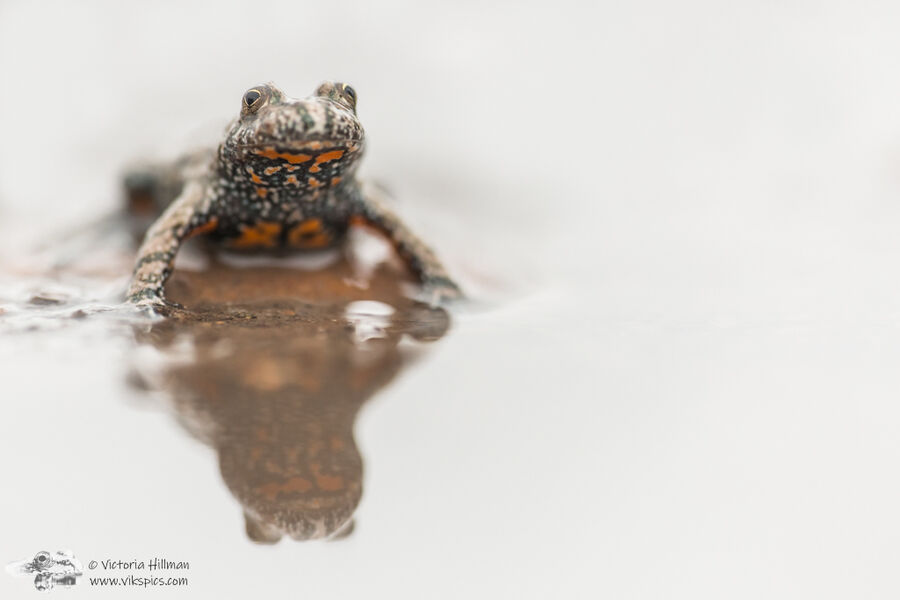 Fire Bellied Toad Reflection