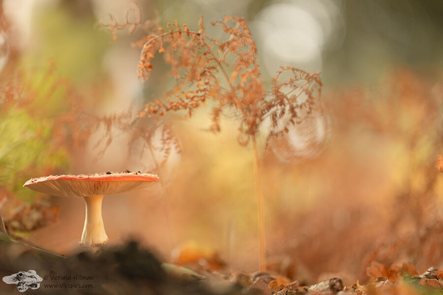 Fly Agaric and Bracken