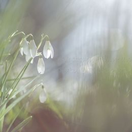 Forest Of Snowdrops