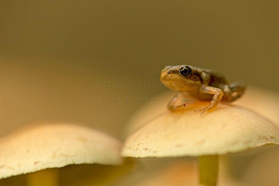 Froglet On Fungi